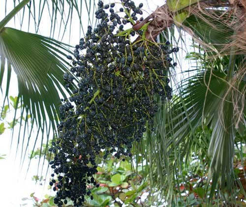 Acai Berries in the palm tree